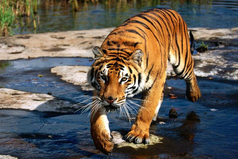 bengel tiger in bhutan